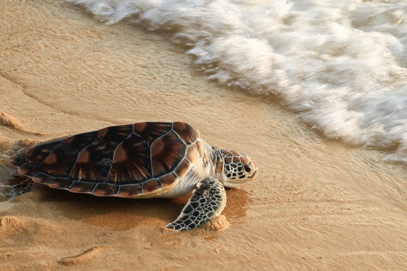 student essay on turtle